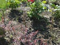 Мужчины, срезавшие 84 розы на площади Ленина, пойманы с поличным